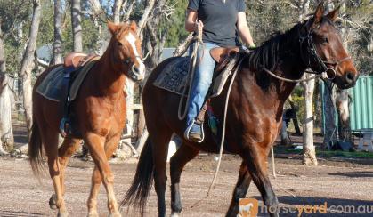 Heavy Set Stock Gelding + VIDEO+ on HorseYard.com.au