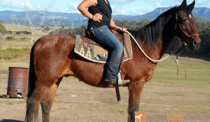 Sensible Quiet Bay Stock Gelding + VIDEO+ on HorseYard.com.au