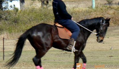 Educated Eventer Hack Jumper + VIDEO+ on HorseYard.com.au
