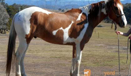 Decorated Western Pleasure Paint Gelding + VIDEO+ on HorseYard.com.au