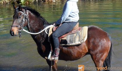 Quiet Versatile Bay Stock Gelding + VIDEO+ on HorseYard.com.au