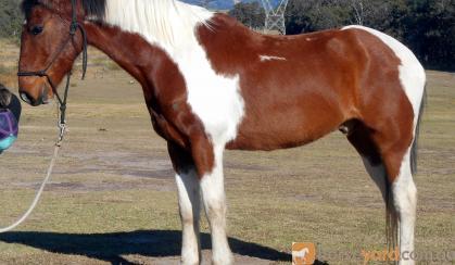 Tri Colour Paint Gelding + VIDEO++ on HorseYard.com.au