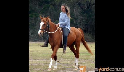 Quiet Stunning Stock Horse X Mare + VIDEO++ on HorseYard.com.au