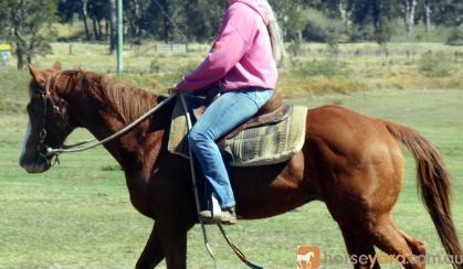 Quiet Red QH Gelding + VIDEO++ on HorseYard.com.au