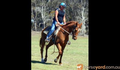 Quiet Red Paint Bred Mare + VIEDO++ on HorseYard.com.au