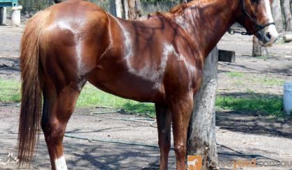 Pretty Red Aust Stock X Mare + VIDEO++ on HorseYard.com.au
