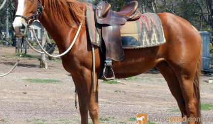Pretty Red Aust Stock X Mare + VIDEO++ on HorseYard.com.au
