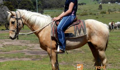 Pretty  Golden Palomino QH Mare on HorseYard.com.au