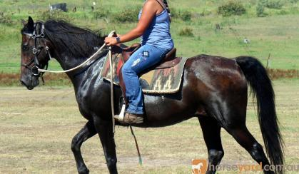 One For The Nervous Riders QH X Gelding + VIDEO++ on HorseYard.com.au