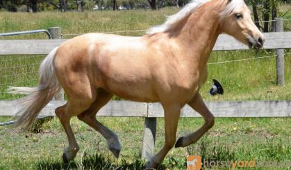 Palomino Part Welsh Gelding on HorseYard.com.au