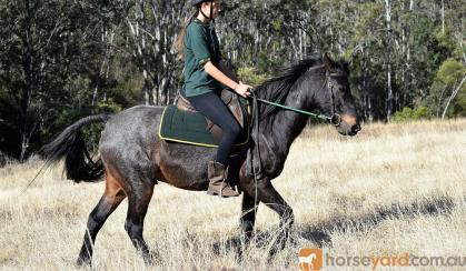 Roan Gelding with Super Personality on HorseYard.com.au
