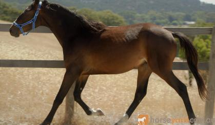 EA Phantom, WB Colt, LuxZ bloodlines on HorseYard.com.au