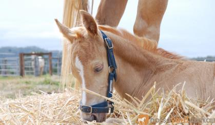 2016 Gold Champagne Quarter Horse Colt on HorseYard.com.au
