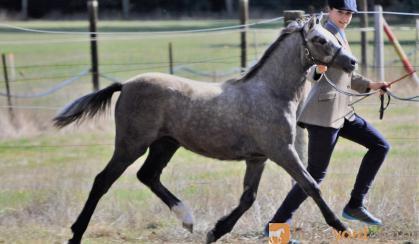 Tooravale Hannarina on HorseYard.com.au