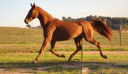 Arab/Warmblood Registered Mare on HorseYard.com.au