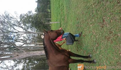 Standardbred gelding on HorseYard.com.au