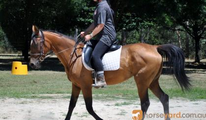 Arab/Warmblood Mare on HorseYard.com.au