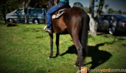 SUPER QUIET AUSTRALIAN STOCK HORSE GELDING on HorseYard.com.au