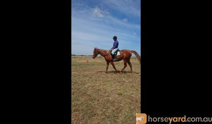 Quarter Horse Mare Reg 8yo on HorseYard.com.au
