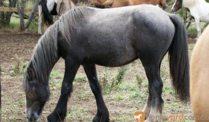 75% Gypsy Cob Gelding on HorseYard.com.au
