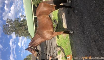 Thoroughbred mare on HorseYard.com.au
