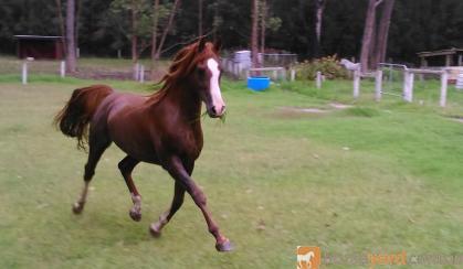 Arabian stallion  on HorseYard.com.au