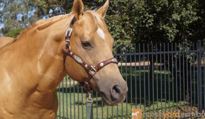 RUNVS Palomino QH Stallion Q-44084 on HorseYard.com.au