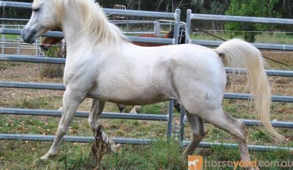 Estaan S21787 Arab Stallion 15.1hh on HorseYard.com.au