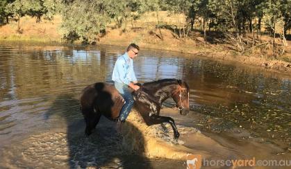 Quiet gelding  on HorseYard.com.au