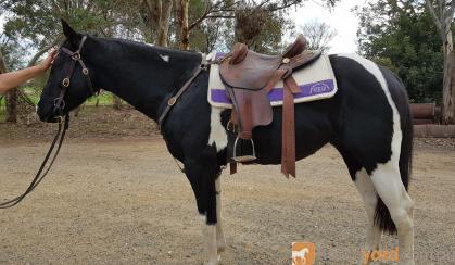 3yo Black & White Gelding  on HorseYard.com.au