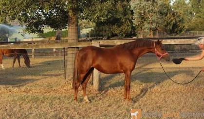 Reg Welsh B Bamborough Yearling Filly on HorseYard.com.au