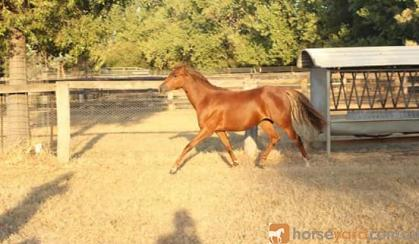 Welsh B yearling filly on HorseYard.com.au