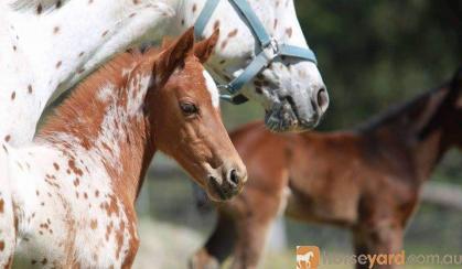 Appaloosa filly on HorseYard.com.au