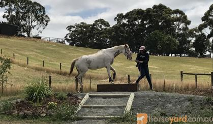 Appaloosa mare on HorseYard.com.au