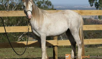 Gypsy Cob x Welsh C Gelding on HorseYard.com.au