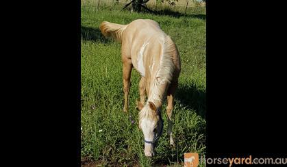 Pritty Palomino overo weanling filly Reg PHAA on HorseYard.com.au