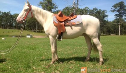 Precious Little Lady - Flossy Cremello Filly on HorseYard.com.au