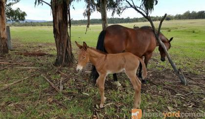 Mule Gelding 9 months old on HorseYard.com.au