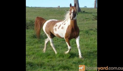 Chestnut Tobiano Part Arabian Mare on HorseYard.com.au