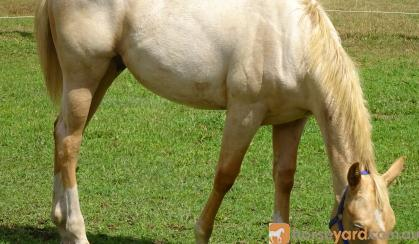 WELL BRED PALOMINO QH COLT FOR SALE on HorseYard.com.au
