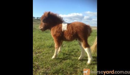 Registered Miniature Pony Colt on HorseYard.com.au