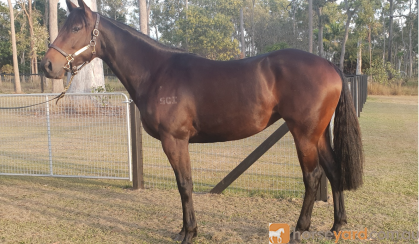 Stunning Thoroughbred Filly on HorseYard.com.au