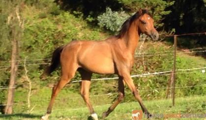 Yearling RP Gelding to make Future open Galloway of the highest calibre on HorseYard.com.au