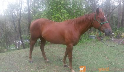 Quarter Horse for Sale - TQS Classical Kid Mare  on HorseYard.com.au
