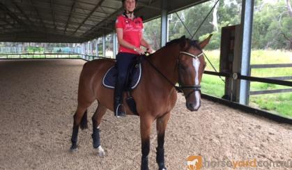 Big softy Warmblood for lease on HorseYard.com.au