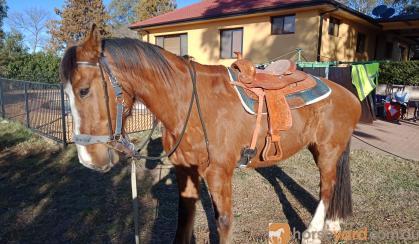 Clydie  X stockhorse on HorseYard.com.au
