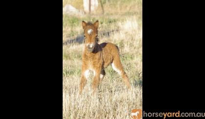 Mini Weanling Colts on HorseYard.com.au