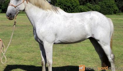 Rare Percheron X Andalusian Gelding + Video+ on HorseYard.com.au