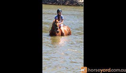 ASH x QH Mare on HorseYard.com.au