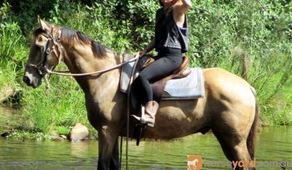 Quiet Buckskin Pure QH Gelding + VIDEO++ on HorseYard.com.au